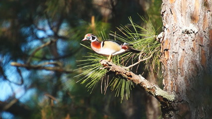 Woodduck Drake Perching in Tree