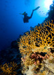 Scuba divers by coral reef