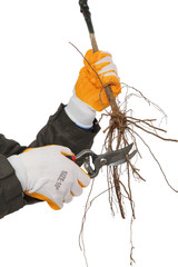 Cutting root of grape plant before planting, pruning
