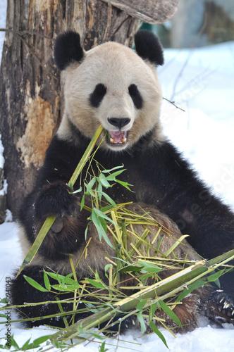 Foto op Canvas Panda Panda