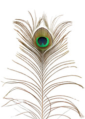 Peacock feather.