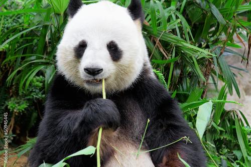 panda jedzenie bambusa liścia