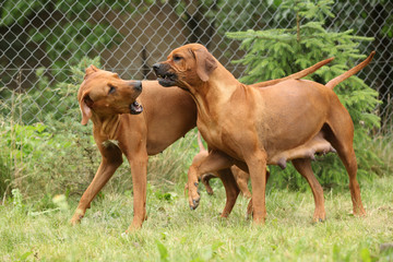 Rhodesian ridgeback bitches