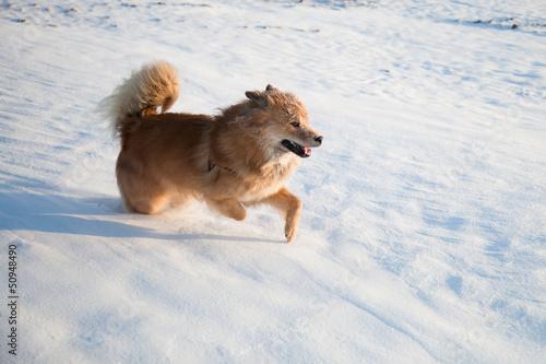 Elo rennt durch den Schnee