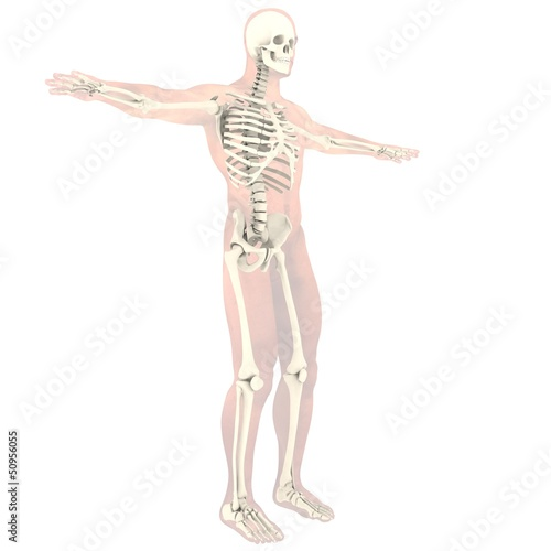 Transparent skeleton