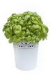 Fresh green basil leaves in a flower pot