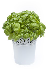 Fresh green basil leaves in a flower pot