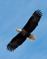 Screaming Bald Eagle soars overhead