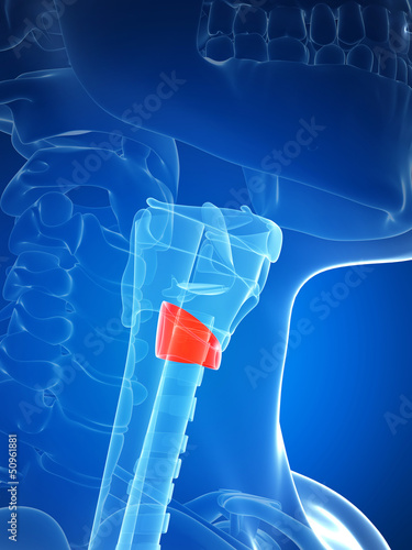 3d rendered illustration of the thyroid anatomy -