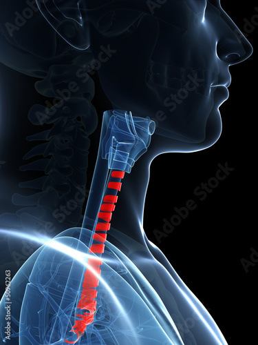 3d rendered illustration of the tracheal rings