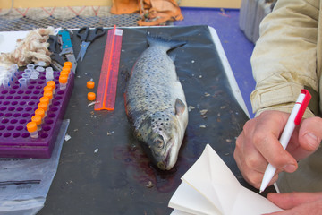 ichthyology of a salmon