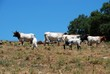 Cattle in field, Andalusia, Spain © Arena Photo UK