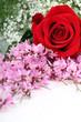 Rosa e glicine