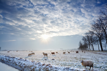 sunbeams over winter pasture with sheep