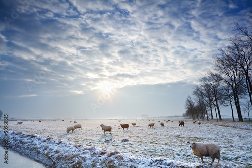 Fotobehang Schapen sunbeams over winter pasture with sheep