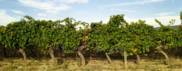 Row of grape vines in a vineyard