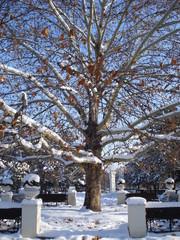Platanus tree in sunny winter day