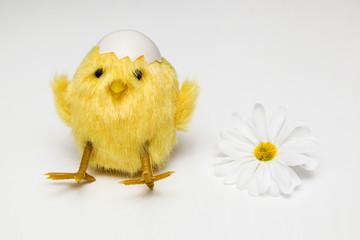 Kücken mti Eierschale und Margerite - Blume