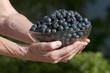 Bowl of freshly picked Blueberries Florida USA