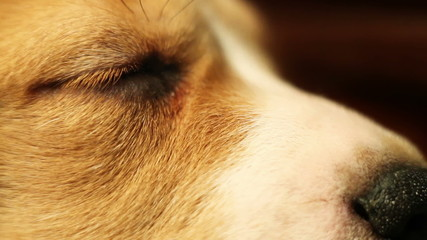 Sleeping Little beagle puppy eyes macro shot