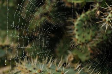 Spider cobweb in the morning at california kaktuses