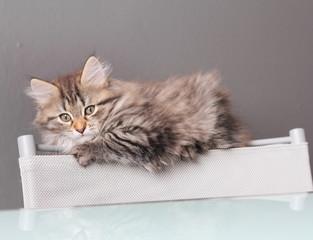 Cucciola di gatto siberiano sullo schienale di una sedia
