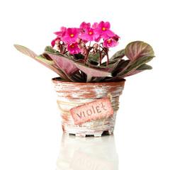 Bright saintpaulia in flowerpot, isolated on white