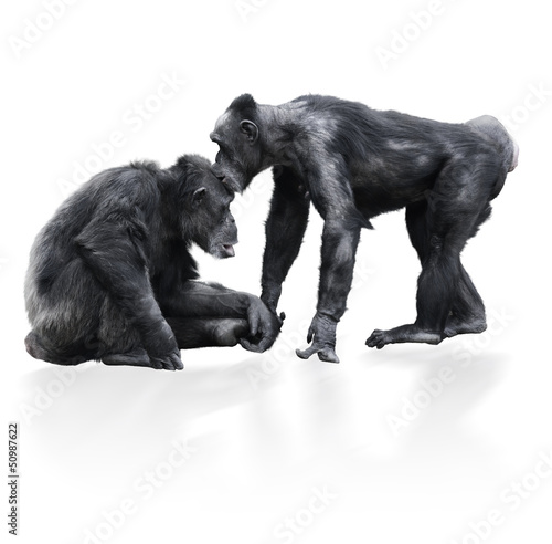 Two Black Chimpanzee