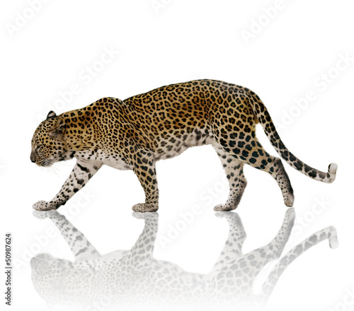 Foto Spatwand Luipaard Leopard