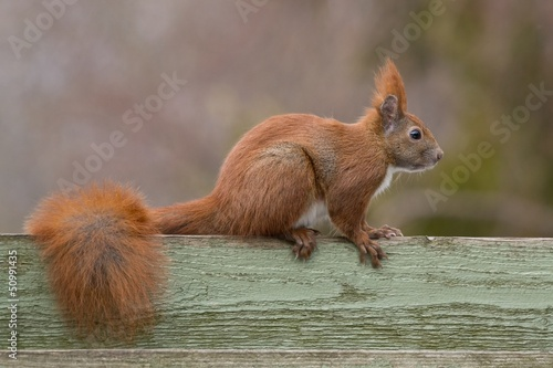 Aluminium Eekhoorn Red european squirrel sitting on top of green fence