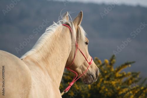 Foto op Plexiglas Paardrijden Quarter Horse palomino avec un licol rose