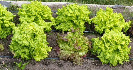 Raised beds of homegrown organic lettuce plants