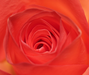 Centre of a rose