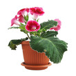 Flowers of pink gloxinia in a pot isolated on white close-up