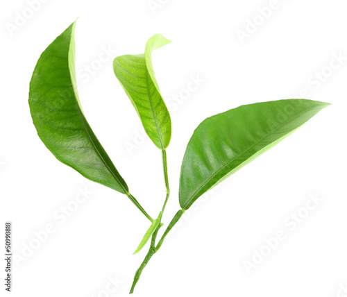 Three green leaf of citrus-tree