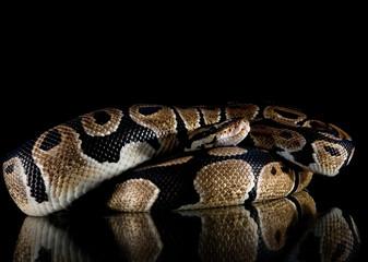 Python snake studio close up