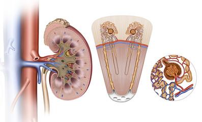 Elementos del  riñón