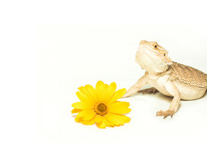 lizard pogona viticeps on white background