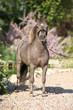 American miniature horse stallion
