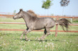 American miniature horse running