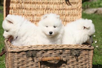 Three puppies of samoyed