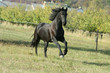 Running Friesian horse
