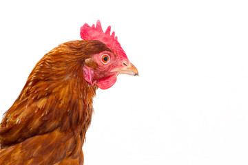 rhode island red chicken isolated