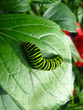 Caterpillar of the butterfly machaon on leaf