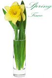 Beautiful spring flower in vase: yellow  narcissus (Daffodil)