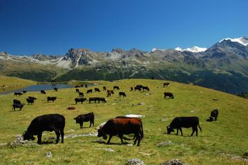 Vaches d'Hérens, Alpes