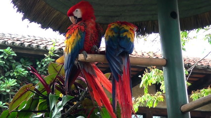 Birds - Neotropical parrot - Macaw - Scarlet Macaw