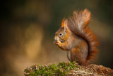 Red squirrel classic pose