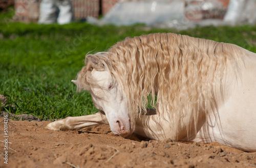 pony having rest on grass