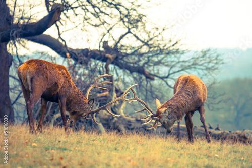 dwa-walczace-jelenie